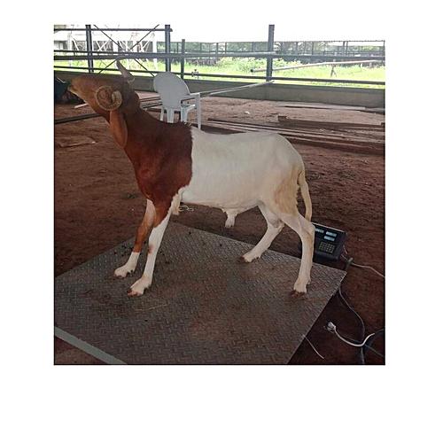 Udah Gold 37kg - 43kg [Lagos Only]