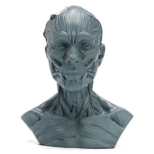 Human Anatomical Anatomy Skull Head Muscle Bone Male Medical Model